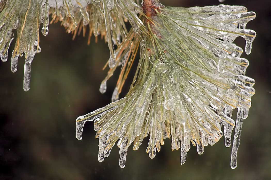 Ice coated pine tree in Wilmington, Illinois, after a severe winter ice storm