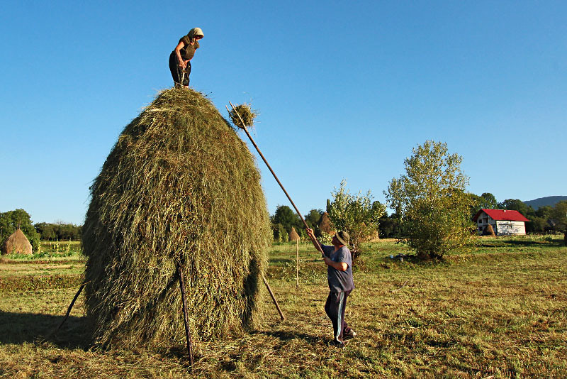Making the haystacks following the harvest in Breb, Maramures, in far northern Romania