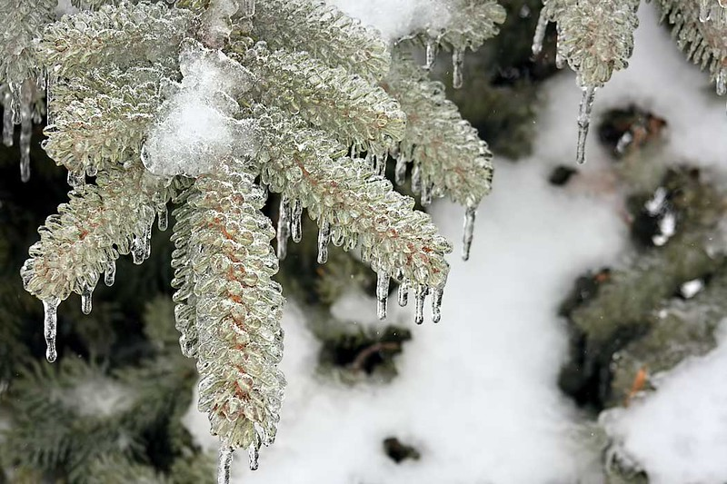 After a winter storm, ice coats branches of a tree in Wilmington, Illinois so thickly that they look like ice pine cones