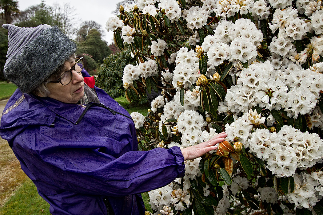 Guide explains history of white Rhododendrons at Tregothnan Historic Gardens in Cornwall, England