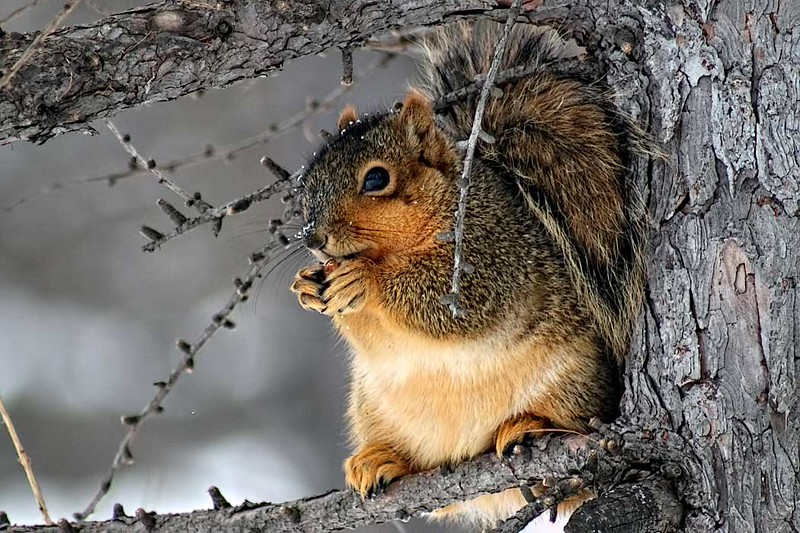 Squirrel enjoys a winter snack at Morton Arboretum in Lisle, a suburb of Chicago, Illinois