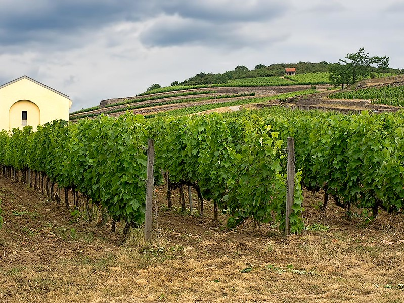 Vineyards cover the hillsides in the Tokaj Region of northern Hungary